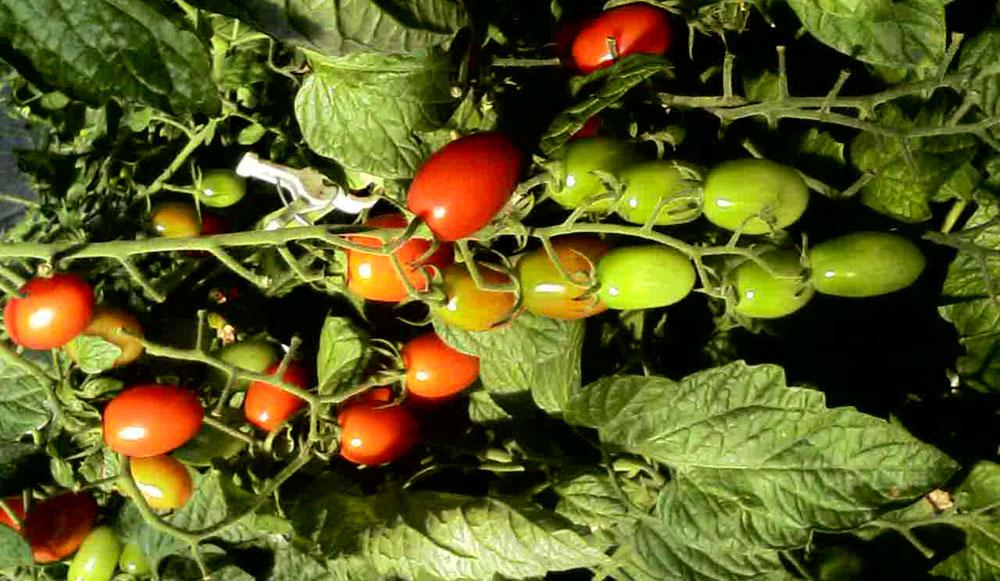 高地栽培 濃厚トマト 雲の上のトマト